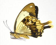 Unmounted Butterfly/Papilionidae - Papilio dardanus tibullus, male, Tanzania