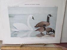 Vintage Print,CANADA GOOSE,Plate 22,Birds of New York,c1914,Fuertes