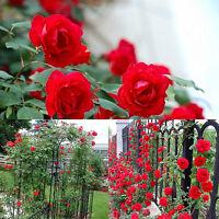 100PCS Seeds Climbing Rose Seeds Rosa Multiflora Perennial Fragrant Flower Bulbs