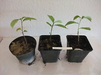 Asimina triloba PawPaw  Indianerbanane Baum Pflanze  ca. 20  cm selten