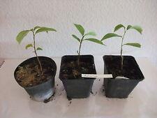 Asimina triloba PawPaw  Indianerbanane Baum Pflanze  ca. 16  cm selten