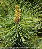 Pinus Patula* Pinie Mexico* Bonsai* frostfest* 10 Samen