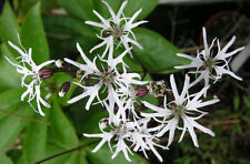 3 Lychnis flos cuculi White Robin plant Native Pond Bee Moth pollinator BAT