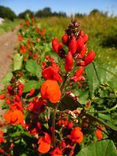 30 SCARLET RUNNER POLE BEAN Seeds + FREE GIFT!