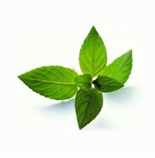 Peppermint Seeds 50 Seeds Mentha Piperita Hybrid MINT Aromatic Herb Plants D032