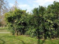 Der immergrüne, winterharte Bambus als lebenden Zaun und Sichtschutz: genial !