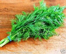 DILL - 8000 seeds - 12.8 grams - Anethum Graveolens - INTENSIVE FRAGRANT