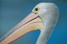 Pelican poster 840mm x 640mm Photograph-printed on gloss 250gsm paper
