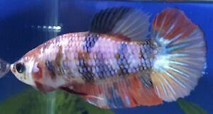 Female Multicolour Hmpk Betta