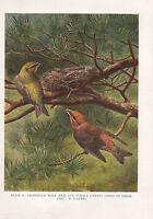 VINTAGE BIRD PRINT ~ CROSSBILLS MALE & FEMALE AT NEST