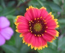 Gaillardia Red Yellow Flower Seeds Beautiful Summer Perennial Full Sun 50 Seeds
