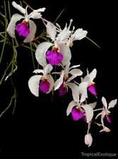 MOS. Orchid Species Holcoglossum kimbalianum (seedling)