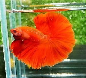 Live Betta Fish - Male Halfmoon - Super Red color - Top grade bettafish #55