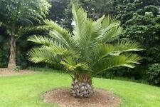Jubaea chilensis Palmen Pflanze Chile Honig Palme Winterhart -20°C 40-60cm