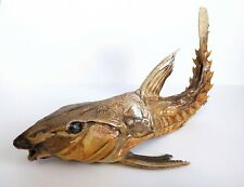 """REAL Ripsaw Catfish 12"""" -Taxidermy, Curiosity, Oddity, Natural History, Skeleton"""