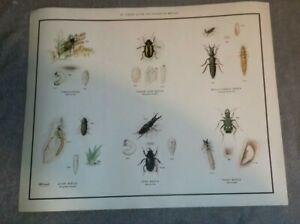 Vintage 1950s Macmillan School Poster Beetle Bug Insect Retro Frohawk Wall Chart