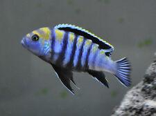 CYNOTILAPIA AFRA COBWE  REEF 4CM  MALAWI CICHLID  TROPICAL FISH