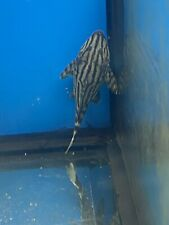 Beautiful 3 Inches Broken Line Royal Pleco L191 Imported