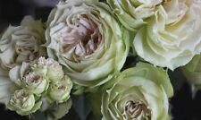 Blanchett rose  - 5 semi/green steem cuttings- rare and limited