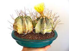 10 Astrophytum capricorne cv THAYO semi seeds semillas NO ariocarpus caralluma