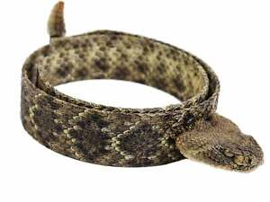 """1.25"""" Real Rattlesnake Hat Band with Head & Rattle - Closed Mouth (598-HB204C)"""