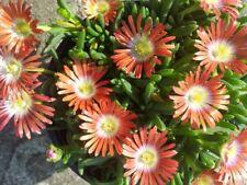 4x Delosperma Winterharte Mittagsblumen Staude ROT Steingarten Frostfest Gr.L