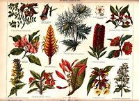 1897 TROPICAL FLOWERS FLORA AECHMEA Antique Chromolithograph Print
