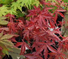 New listing Japanese Maple Acer Beni Fushigi