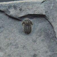 Trilobite Jenkinsonia varga Cambrian Utah fosilies fossils Trilobiten USA