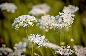~1000/5000 Graines de Carotte Sauvage Commune Daucus Carota Fleurs Blanches