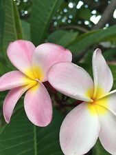 Plumeria Plant Cutting Easy To Root 12-14 Inch ***pink***