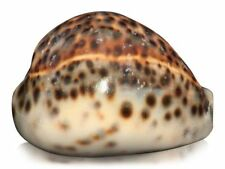Cowrie Unpolished Collectable Shells/Corals/Starfish