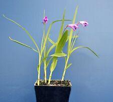 BLETILLA STRIATA pianta in vaso quadro 9x9x10cm Orchidea Giacinto Orchid Hyacint