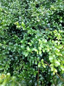 Holly Ilex Crenata 'Northern Beauty' Japanese Holly - 3 rooted cuttings