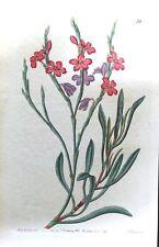 STATICE SEA LAVENDER  Curtis Original  Vintage Antique Botanical Print 1841