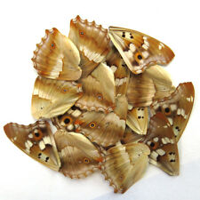 20 REAL BUTTERFLY wing jewelry artwork material ooak DIY gift #62/_B