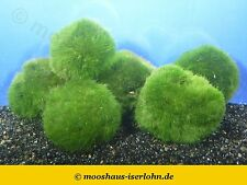 3 x Nano Mooskugel Moosball Marimo Cladophora aegagrophila aus Garnelen-Aquarium