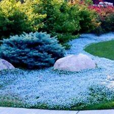 Usa Seller 100 Aubrieta Light Blue Rock Cress Flower Seeds Plant Garden Planting