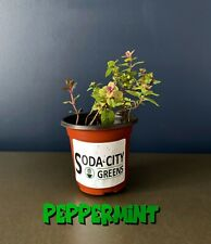 Peppermint Herb Live Plant! Ready for your garden!