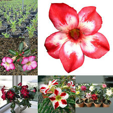 20pcs Adenium Desert Rose obesum semillas flores perennes jardín Bonsai Frescas