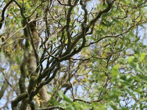 Korkenzieherweide Salix madsudana Tortuosa im Topf ca 40cm winterhart mehrjährig