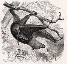 C4191 Kalong - Pteropus celaeno - Xilografia d'epoca - 1930 Vintage engraving