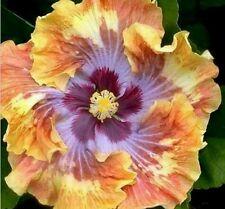 10 graines rose tremiere exotique