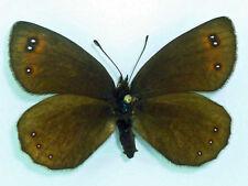 Actuado lefebvrei pyrenaea * female! * Spain (unmounted)