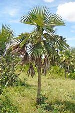 20 x Coccothrinax miraguama subsp. miraguama palm tree seeds