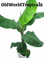 "Banana Fruit Tree ""Musa Dwarf Cavendish"" LIVE PLANT Edible garden tropical"