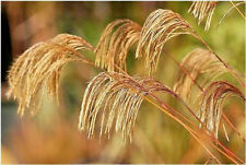 1 Miscanthus nepalensis plug Grass Summer/Autumn Colour Bird food tall perennial