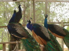 4 India Blue 1/2 Blackshoulder Project Peacock Peafowl Hatching Eggs