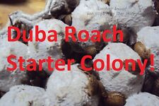 100+Dubia Roaches Starter Colony.Adults & Nymphs.Free Isopods & Buffalo Beetles.