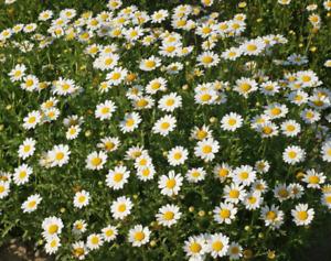 250 Creeping Daisy Flower Seeds Chrysanthemum paludosum